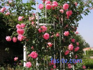 Такие разные розы: плетистые, почвопокровные, шток-розы